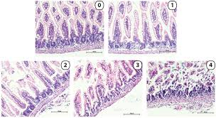 paneth cell disruption induced necrotizing enterocolitis in mice