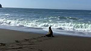 california sea lion after fishing line removed by the marine