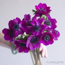 anemone flowers anemones flower moxie
