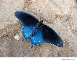 blue swallowtail butterfly picture