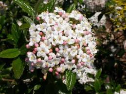 Pink Spring Flowering Shrubs - flowering shrub list dammanns