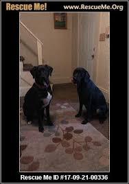bluetick coonhound dander wisconsin bluetick coonhound rescue u2015 adoptions u2015 rescueme org