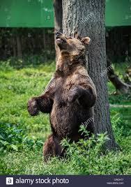 Six Flags New Jersery Braunbären Kratzt Sich Am Rücken An Einem Baum Ursus Arctos