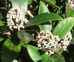 Expert Advice On Growing Skimmia In The Uk