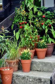 ornamental container vegetable garden in terracotta pots