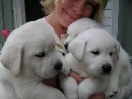 Comfort Retriever Puppies For Sale Best 25 Retriever Puppies Ideas On Pinterest Golden Retriever