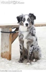 australian shepherd double merle australian shepherds black bi and blue merle australian