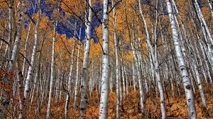 birch forest sepia wall mural amp photo wallpaper birch wallpaper birch tree wallpaper