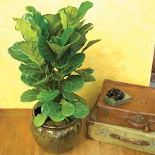 Low Light Indoor Trees Houseplants You Can U0027t Kill Figs Houseplant And Plants