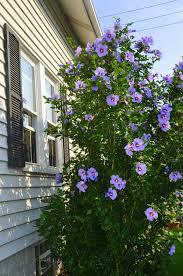 how to care for dwarf gardenias dwarf gardenia gardenias and dwarf