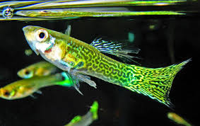 types of aquarium ish breeding guppy can you make money with guppies of coarse you