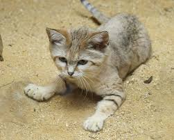 rare cat wallpapers sand cat wallpapers animal hq sand cat pictures 4k wallpapers