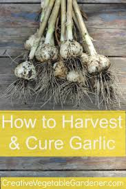 How To Grow Vegetables by How To Harvest U0026amp Cure Garlic Garlic