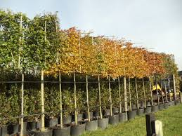 carpinus betulus hornbeam instant hedges suppliers and