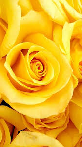 Colors Of Yellow Best 25 Yellow Roses Ideas On Pinterest Roses Rose Tattoo