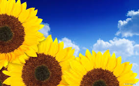 sunflower wallpapers sunflower desktop wallpapers free group 80
