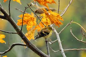 bird friendly native plants audubon native trees with incredible fall foliage u2014and the birds that love