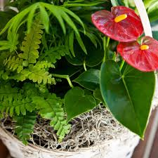 tropical foliage anthurium flamingo flower garden in basket