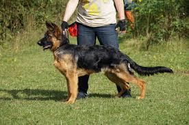 belgian shepherd for sale in malaysia german shepherd dog