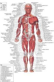 Heart External Anatomy External Oblique Anatomy Choice Image Learn Human Anatomy Image