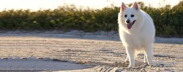 american eskimo dog brown american eskimo dog breed health history appearance