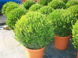 buxus sempervirens in vaso buxus microphylla faulkner bussolo o bosso arbusti ornamentali