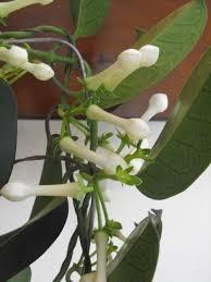 Stephanotis Flower Madagascar Jasmine Stephanotis Floribunda Description And Care