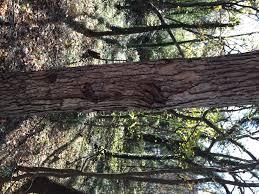 White Oak Tree Bark Tree Gerald Brown Field Botany