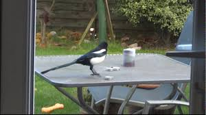 Magpie Birds In Backyards A Magpie Caught Stealing Our Candles Youtube