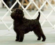 affenpinscher calgary reveal the worst dog breeds dog breed ideas pinterest dog breeds