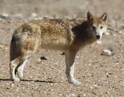 tibetan wolf wikipedia