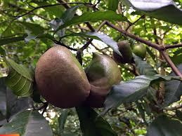 balls tree or cojones de caballo