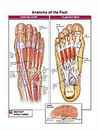 Foot Vascular Anatomy Foot And Toe Anatomy Medical Illustration Exhibits