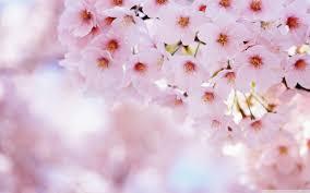 pink blossom tree 4k hd desktop wallpaper for 4k ultra hd tv