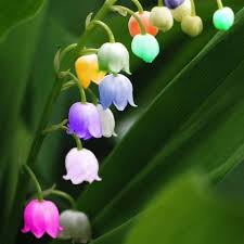 of the valley flower of the valley flower seeds bell orchid seeds rich aroma