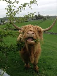 a highland cow aww