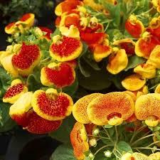 slipper flower slipper flower fascination mix seeds