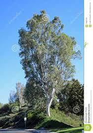 tall eucalyptus tree in laguna woods california stock photo