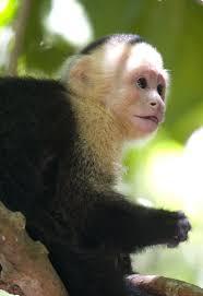 the 25 best capuchin monkeys ideas on pinterest capuchin monkey