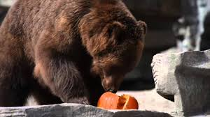 watch detroit zoo animals play with pumpkins and eat special