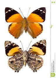 blomfild s butterfly stock photo image of nymphalidae