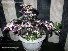 purple flash ornamental pepper striking heat purple