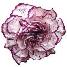 purple carnations carnations novelty purple bi color 75 stems sam s club
