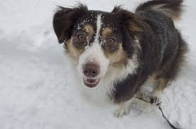 lifespan of australian shepherd everything you need to know about australian shepherd mix