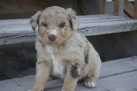 australian shepherd 2015 we are expecting a litter of akc asca australian shepherd puppies