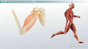 Human Body Muscles Images Muscular System Injuries U0026 Disorders Video U0026 Lesson Transcript