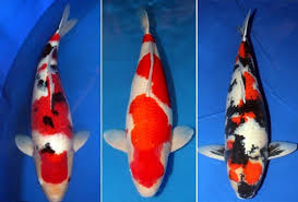 koi japanese imported fish for sale