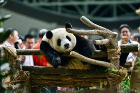 how to say thanksgiving in chinese panda hashtag on twitter