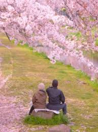 hanami or cherry blossoms the japanese sense of beauty triplelights