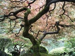 japanese maple tree picture of portland japanese garden